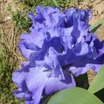 Iris-de-Provence_004