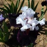 Iris-de-Provence_005