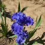 Iris-de-Provence_006