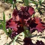 Iris-de-Provence_007