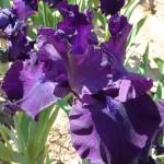 Iris-de-Provence_009