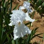 Iris-de-Provence_010