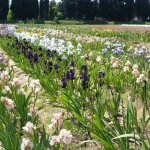 Iris-de-Provence_014