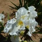 Iris-de-Provence_017