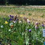 Iris-de-Provence_018