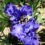 Iris-de-Provence_020