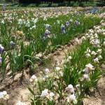 Iris-de-Provence_021