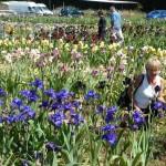 Iris-de-Provence_022