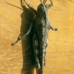 Orthacanthacris aegyptia