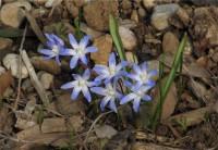 Chionodoxa luciliae (...i soliti bulbi Olandesi)