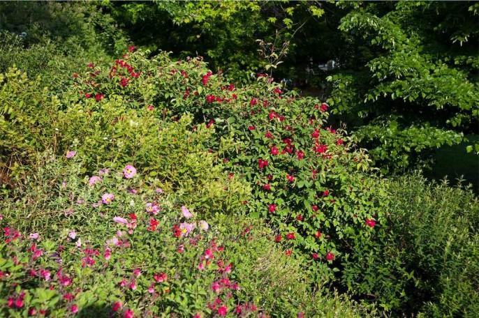 Cistus, salvie e rosa chinensis sanguinea