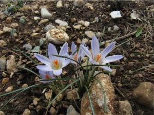 Crocus reticulatus (dal Carso...se ben ricordo anche Romeo li ha)