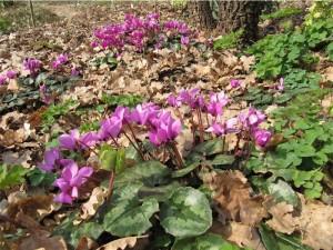 Cyclamen pseudoibericum (un altro della serie...dalla Turchia con furore)