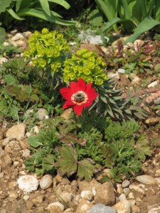 Anemone pavonina & Euphorbia rigida (dalla Palestina...molto pasquale come tema!)