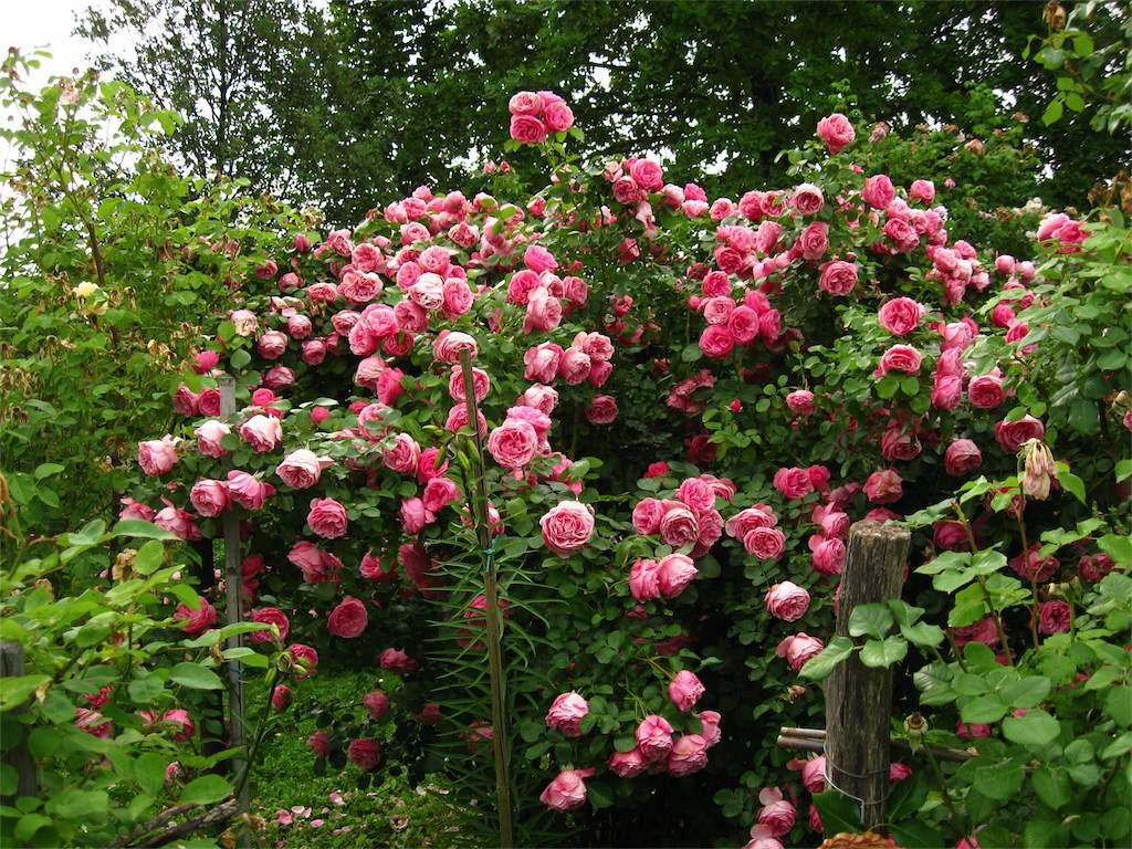 Piante Di Rose Rampicanti rose meilland   amici in giardino