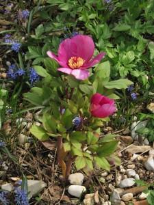 Paeonia kesrouanensis (dalla Turchia...finalmente in fiore!) & Scilla bifolia (dal Carso)