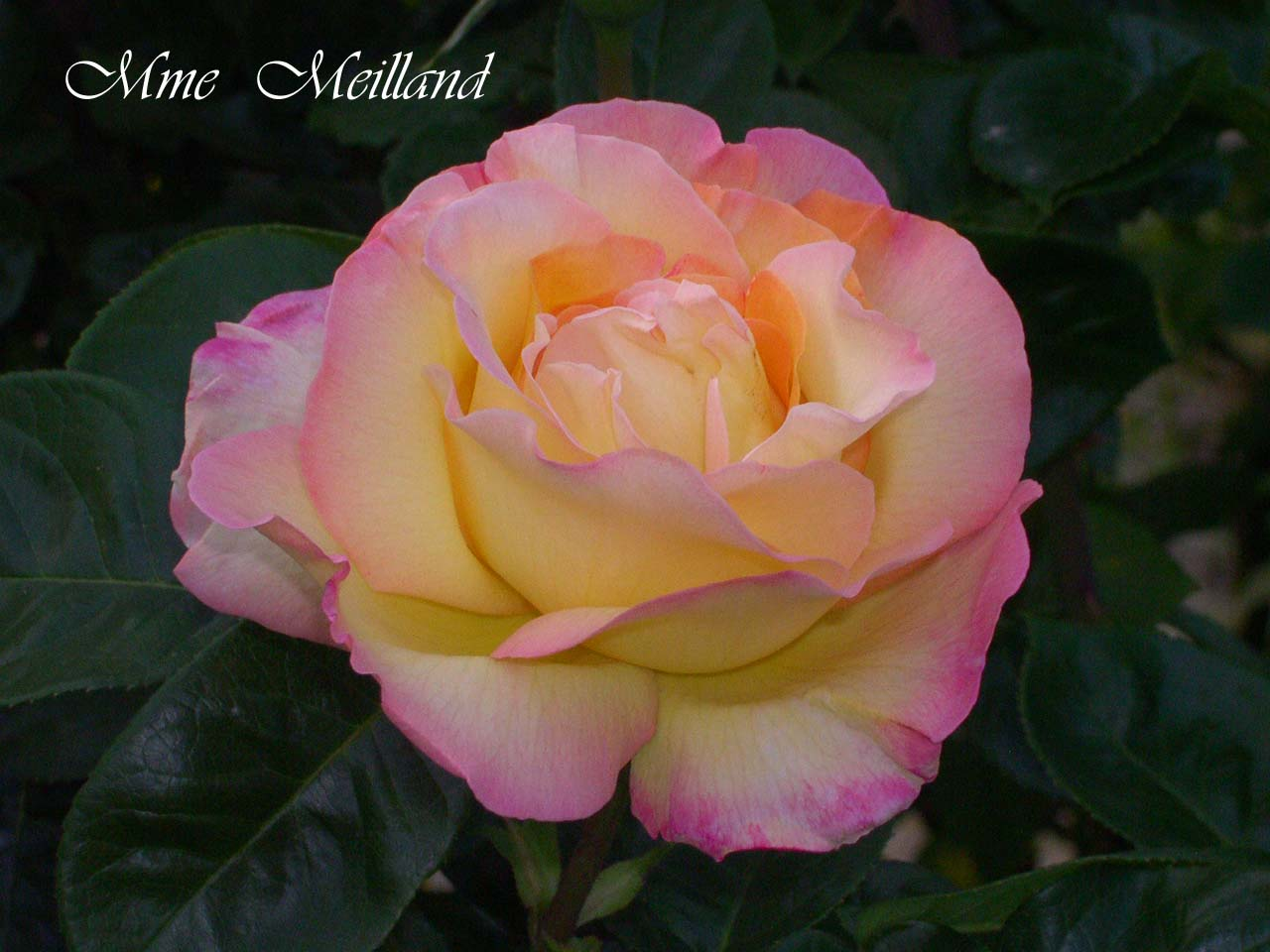 Rose meilland amici in giardino for Rose meilland