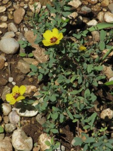 hulthemia persica nata da seme, dopo 3 anni finalmente il primo fiore