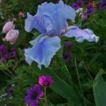 iris-e-geranium