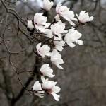magnolie nel giardino Viatori