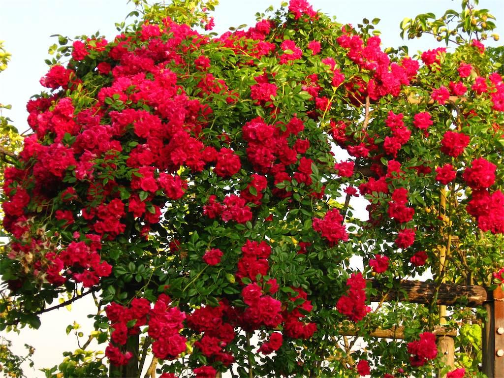Fiori Del Mese Di Giugno le prime rose dell'estate | amici in giardino