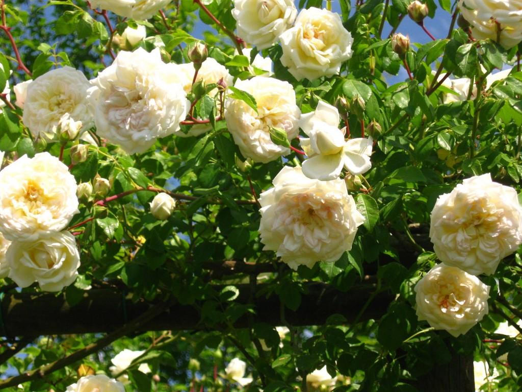 Piante Di Rose Rampicanti amici in giardino: giardinaggio e dintorni   giardinaggio