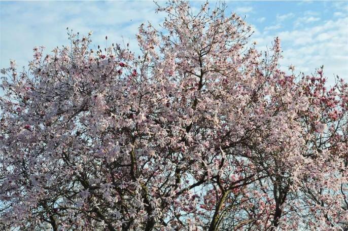 magnolie in fiore al giardino Viatori