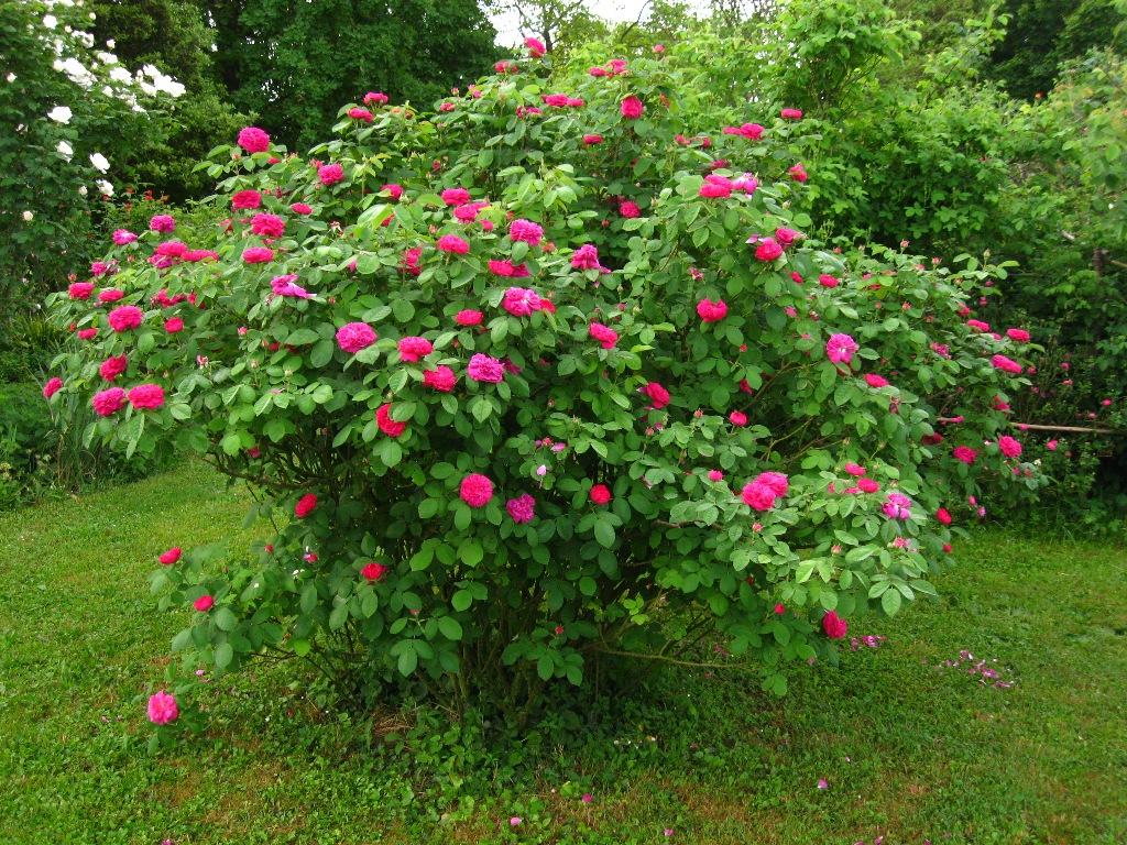Rose Da Taglio Rifiorenti cure delle rose rifiorenti durante l'estate | amici in giardino